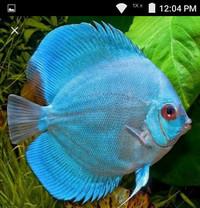 harga Ikan aquascape discus blue diamond 2.5-3cm Tokopedia.com