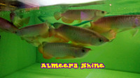 harga Ikan arwana / arowana golden red high back 25 cm up serti & chip Tokopedia.com