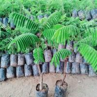 bibit pohon petai nasi super jumbo batang besar tinggi 70-1mter