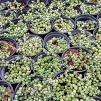 tanaman hias kaktus sukulen string of pearl