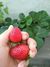 Bibit Strawberry Jumbo