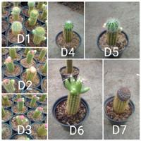 kaktus grepting baru