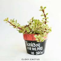 Kaktus Mini Ready Mini Jade Plant