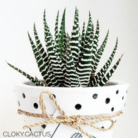 Kaktus Mini Ready Big Haworthia