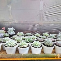 tanaman hias kaktus paket 20pcs + pot D10 putih