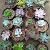 paket tanaman hias kaktus sukulen 20 pot