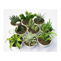 tanaman hias kaktus sukulen 10pcs plus pot putih diameter 10cm