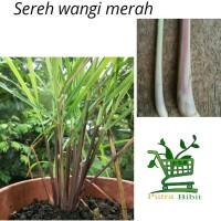 Tanaman Sereh Wangi Merah - Bibit Serai Minyak Pohon Herbal Berakar