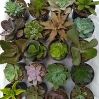 paket kaktus sukulen 20 pot + pot besar diameter 10cm