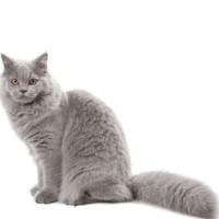 Ini Royal Canin Kitten British Shorthair 2 Kg / Cat Food / Makanan
