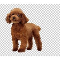 Order Royal Canin Poodle Adult 3Kg Dog Food Segera Beli