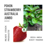 Tanaman Buah Strawberry Australia Jumbo - Bibit Pohon Strawbery Besar