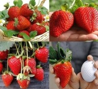 Bibit strawberry red giant australia (sudah berbunga)