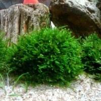 Tanaman hias aquascape Moss batu / hiasan aquarium