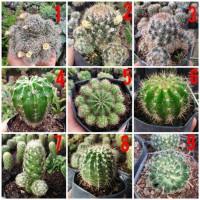 Kaktus Ownroot