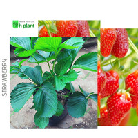 bibit strawberry australia-strawberry jumbo