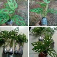 tanaman hias monstera-pohon janda bolong