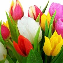 Tulip Melody