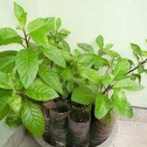 indri herbal
