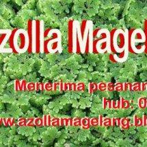 Azolla Magelang