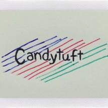 _Candytuft_