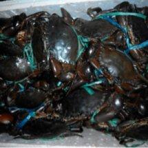 Kepiting papua barat