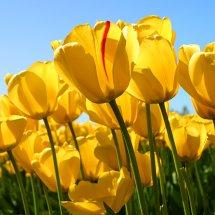 Bunga Mayang