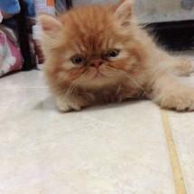 kucing persian shop10
