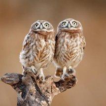 Logo Twin Owls