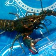 Lobster Temanggung