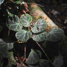 Begonia Outdoor