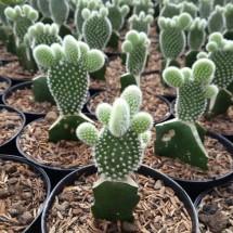 Kaktus succulent 354