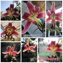 bibit tanaman hias/bunga