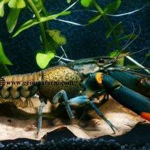 Mounster (Lobster)