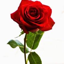 mawar shop123