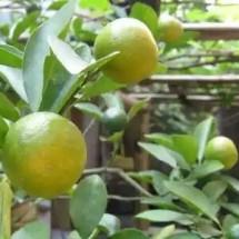 Jeruk Kalimantan