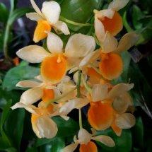 Jo_Orchid
