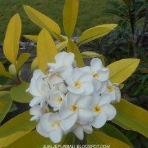 Jual Plumeria / Kamboja