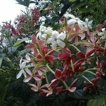 putih flora