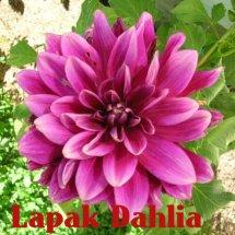 Lapak Dahlia Logo