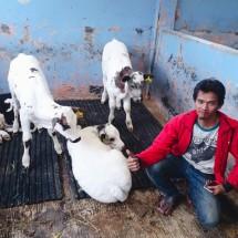 Timbangan sapi