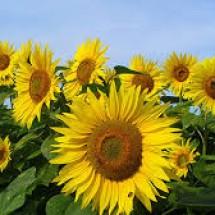 Logo sunflowerstore61