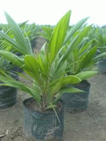 jual bibit kelapa sawit