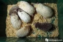 Hedgehoglandminjava
