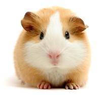 Guinea pig/Marmut shop