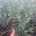 Kebun Tin dan Zaitun