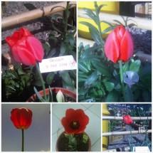 tulip dieng