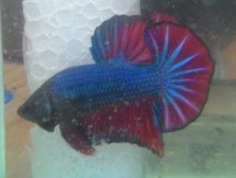 PONBAR BETTA