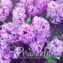 Periwinkle
