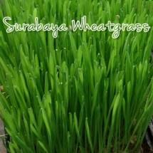 Wheatgrass Surabaya